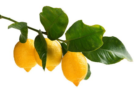 Three lemons on a twig with green leaves  isolated on white background