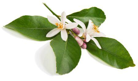 CITRICOS: Ramita de árbol de limón con la flor aislada en el fondo blanco. Foto de archivo