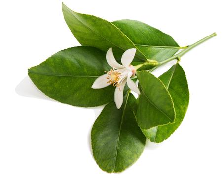 흰 배경에 고립 된 꽃, 레몬 나무의 분기.