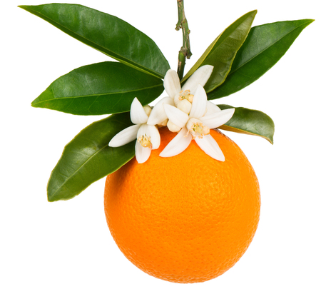 Orange fruit with leaves and blossom hanging on a branch isolated on white background. Stock Photo