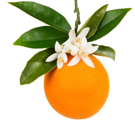 Oranje fruit met bladeren en bloesem op een tak hangen geïsoleerd op een witte achtergrond.