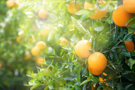 Sinaasappels op een bomen in boomgaard en de stralen van de zon.