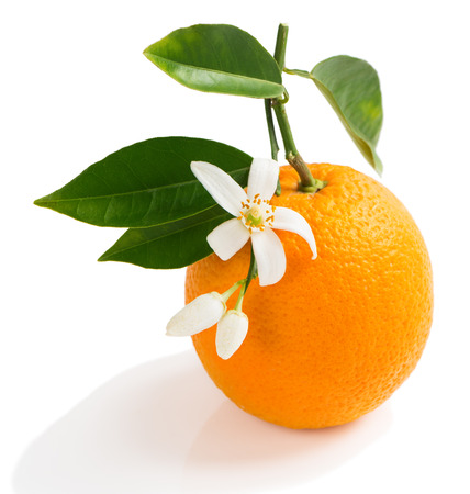 orange blossom: Orange fruit and orange blossom on a twig with green leaves isolated on white background.