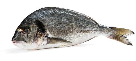 sparus: One fresh dorado fish isolated on white background.