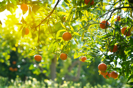 Orange Tree With Fruits In Orange Garden On A Sunny Day. Stock Photo ...