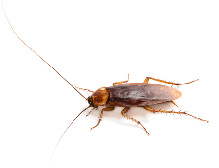 View from side of American cockroach (Periplaneta americana) with long mustache and wings, solated on a white background.