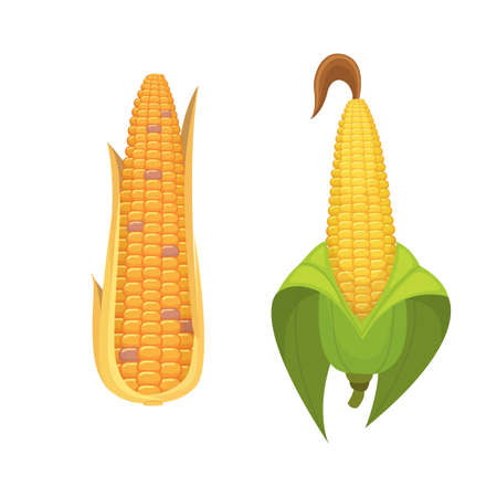 Organic Corn Isolated on White Background. Agriculture farm vegetable for popcorn vector. Corncob with leafs vegeterian food illustration
