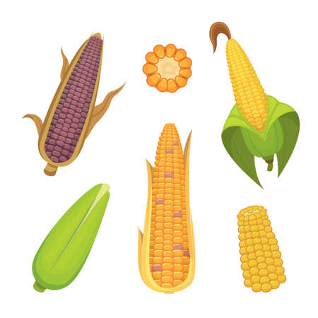 corncob: Organic Corn Isolated on White Background. Agriculture farm vegetable for popcorn vector
