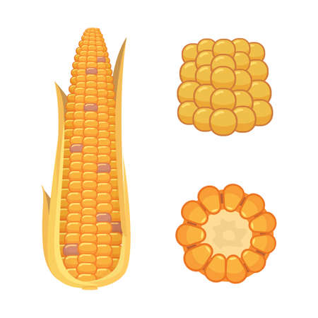 corncob: Organic Corn Isolated on White Background. Agriculture farm vegetable for popcorn vector. Corncob with leafs vegeterian food illustration