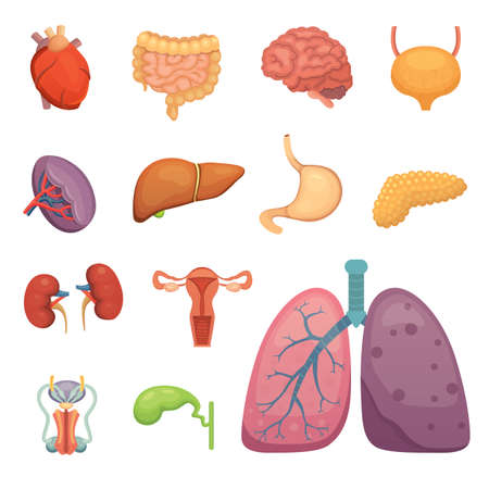 Cartoon human organs set. Anatomy of body. Reproductive system, lungs, brain illustrations
