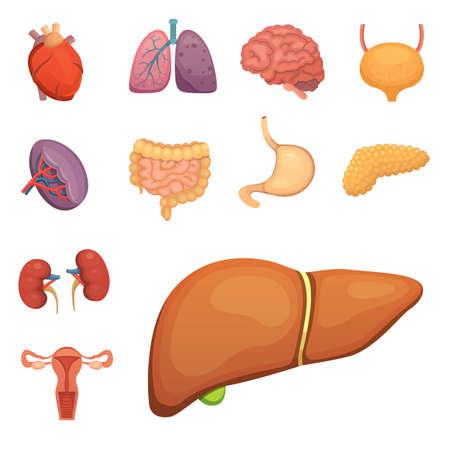 digestive: Cartoon human organs set. Anatomy of body. Reproductive system, lungs, brain illustrations