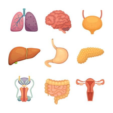 Cartoon menselijke organen ingesteld. Anatomie van het lichaam. Reproductiesysteem, longen, illustraties van de hersenen