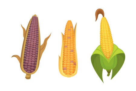 Agriculture farm vegetable of corn illustration.
