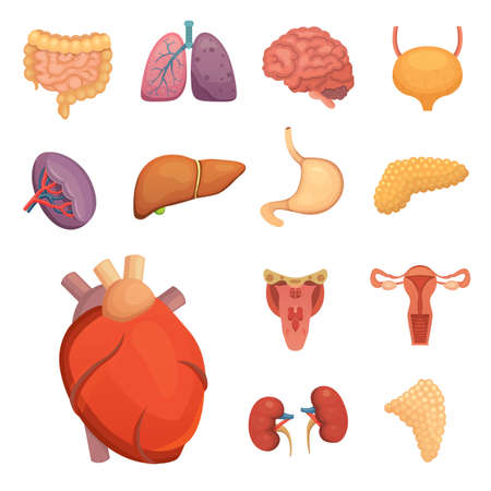 human liver: Cartoon human organs set.
