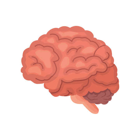 frontal view: Human brain anatomy cartoon vector icon isolated.