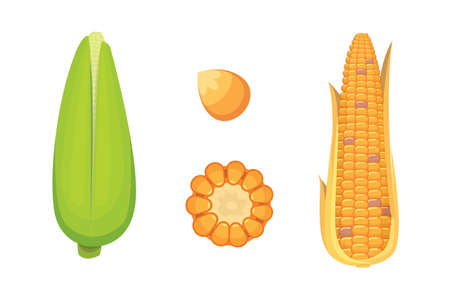 organic Corn Isolated on White Background. Agriculture farm vegetable for popcorn vector