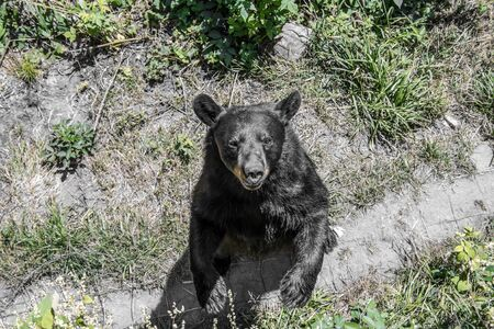 Black Bear looking in my direction