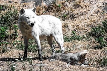 White Wolf f