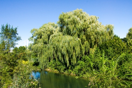 weeping willow: Weeping Willow by a beautiful day, with a beautiful blue sky