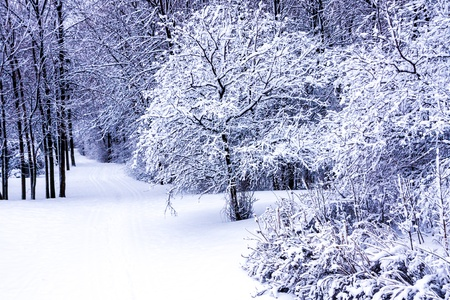winterly: Walking trail in the winter in the snowy forest with trees covered in deep snow in the shade of blue and purple. Stock Photo