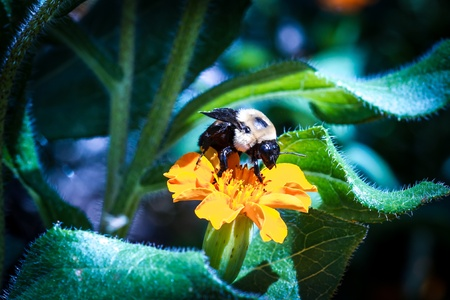 A Bumble bee on an orange flower (little bit noise in background) Stock Photo
