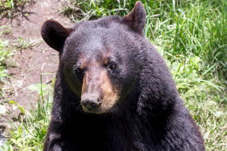 oso negro: Cierre de Oso Negro Foto de archivo