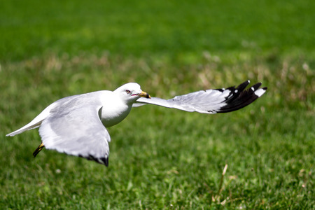 Seagull flying above the grass