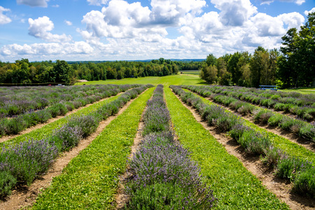 Lavender path in a field of Lavender