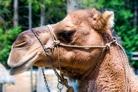 Camel head in captivity Stock Photo