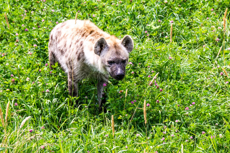Hyena in captivity