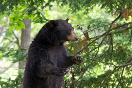 condone: Bear in Captivity