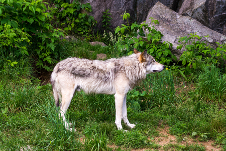 Beautiful wild gray wolf in captivity in a park in Quebec.