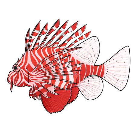 zebrafish: Lionfish. Venomous marine fish. Isolated on white background.