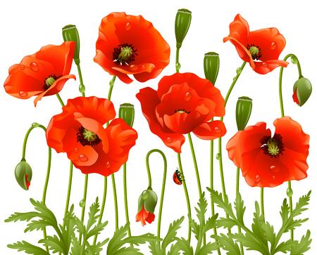 wild grass: Flores de primavera: amapola  Vectores