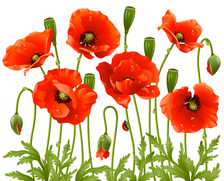 Spring flowers: poppy Vector