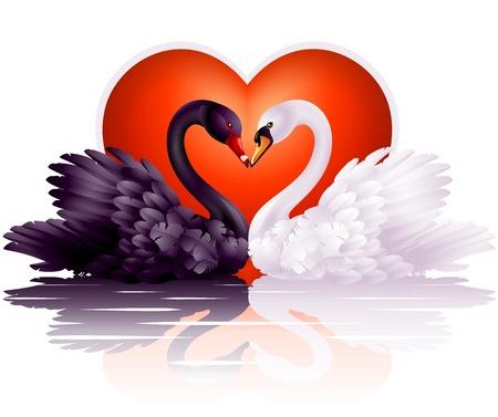 cisnes: Pareja de cisnes blancos y negros en el amor