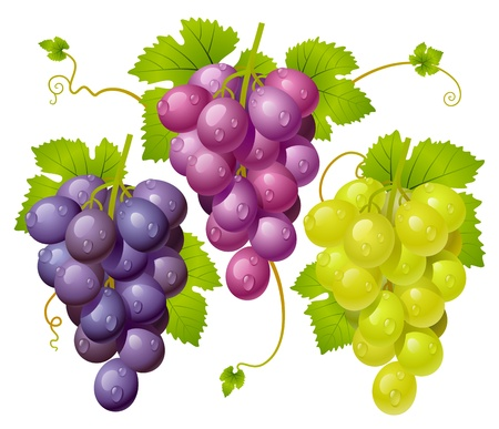 grapes on vine: Three cluster of grapes Illustration