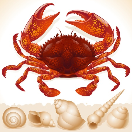 scallop shell: Red crab and few seashells