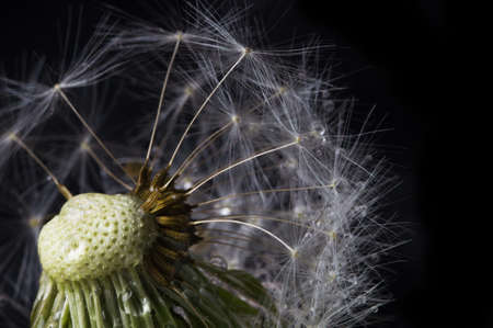 One close-up dandelion in drops of water on a black background. Macro nature. Stockfoto