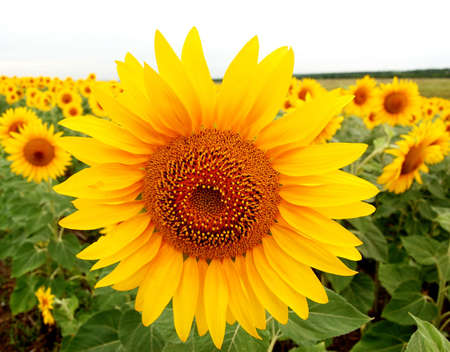 sunflowers in a field matures photo
