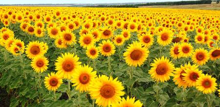 sunflowers  yellow  field photo
