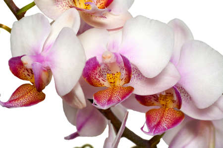 Phalaenopsis orchid close-up on a white background.