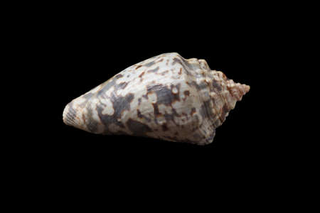 Single seashell isolated on a black background.