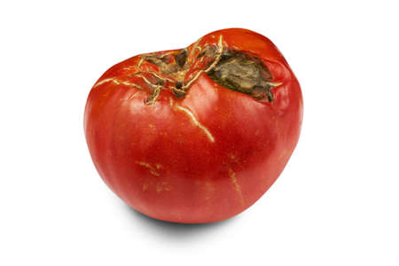 Spoiled, rotten red tomato isolated on white background.