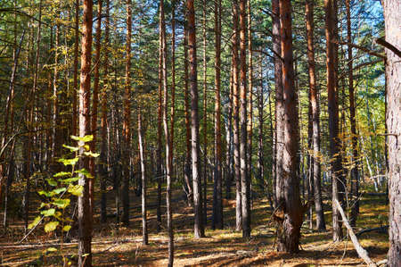 Thick green spruce forest in sunny weather. Forest conservation area. Natural Park. Banco de Imagens