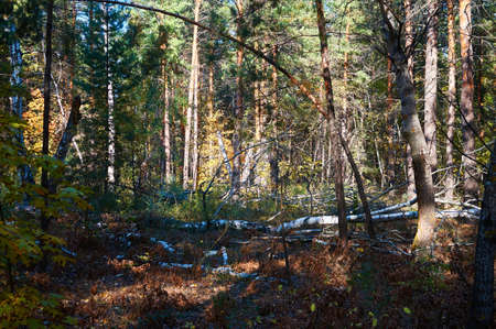Thick spruce and deciduous green forest with fallen trees on a sunny day. Forest conservation area. Natural Park.