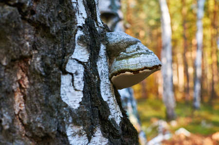Old dead birch in the forest with an expanding fungus.