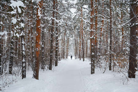 Road in the winter snowy forest. Winter landscape.