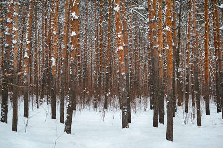 Many trunks of trees in a snowy forest. Winter landscape.