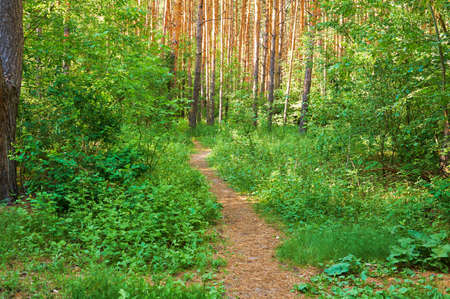 The path for people in the green forest. National park.